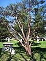 Pinus densiflora, Mount Auburn Cemetery - 1.JPG