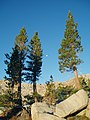 Pinus jeffreyi John Muir Wilderness.jpg