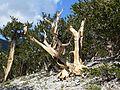 Pinus longaeva 15.jpg