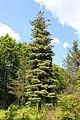 Pinus monticola Rogów.JPG