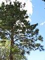 Pinus ponderosa wholetree.jpg