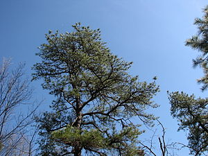 Pinus rigida on trails outside of Batsto in Wh...