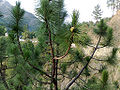 Pinus roxburghii foliagecone.jpg