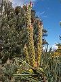 Pinus sylvestris youngcones.jpg