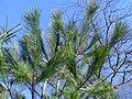 Pinus wallichiana.JPG