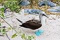Piquero patiazul (Sula nebouxii), isla Lobos, islas Galápagos, Ecuador, 2015-07-25, DD 52.JPG