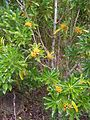 Pittosporum balfourii 01.jpg