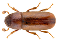 Pityophthorus henscheli Seitner, 1887.png