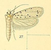 Pl.4-fig.27-Yponomeuta puncticornis (Walsingham, 1891) (Hyponomeuta).jpg