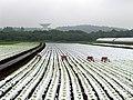 Plantation - panoramio.jpg