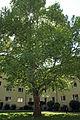Platane Neuwaldeggerstrasse 41.jpg