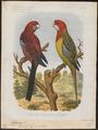 Platycercus pennantii - 1881-1889 - Print - Iconographia Zoologica - Special Collections University of Amsterdam - UBA01 IZ18500003.tif