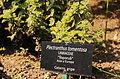 Plectranthus tomentosa lamiaceae.JPG