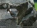 Plumbeous Water Redstart (Rhyacornis fuliginosa) (20391953669).jpg