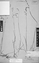 Poa ruprechtii Peyr - photo of holotype collection (Heller 312) - PhytoKeys-015-001-g016.jpeg