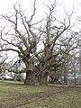 Pollard Oaks in park - Feb 2012 - panoramio.jpg