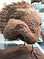 Polyplectron bicalcaratum - Naturmuseum Senckenberg - DSC02055.JPG