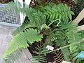 Polystichum setiferum - Bergianska trädgården - Stockholm, Sweden - DSC00370.JPG