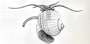 Pomacea canaliculata - Drawing of the animal and the shell of Pomacea canaliculata