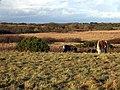 Ponies on the heath - geograph.org.uk - 1064029.jpg