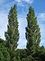 Populus nigra Plantierensis1.jpg