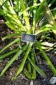 Portea petropolitana - Naples Botanical Garden - Naples, Florida - DSC09709.jpg