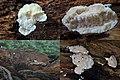 Postia stiptica Syn. Spongiporus stiptica Syn. Oligoporus stipticus (GB= Bitter Bracket, D= Bitterer Saftporling, NL= Bittere kaaszwam) at 3-4 spots at this hollow Beechtreetrunk Hoge Erf Schaarsbergen. Due to flash the - panoramio.jpg
