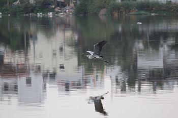 Pragathi nagar pond flying bird.jpg