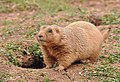 Prairie dog in Paignton Zoo.jpg