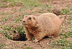 Prairie dog in Paignton Zoo.jpg