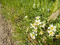 Primroses in the sunshine (14145188371).jpg