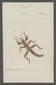 Prisopus - Print - Iconographia Zoologica - Special Collections University of Amsterdam - UBAINV0274 065 04 0038.tif