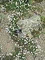 Pritzelago alpina - Botanischer Garten Freiburg - DSC06426.jpg