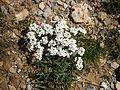 Pritzelago alpina 003.jpg