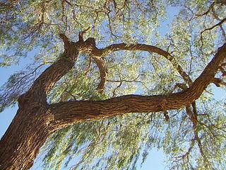 <i>Prosopis tamarugo</i> species of plant
