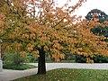 Prunus Serrulata.Serres d'Auteuil 001.jpg