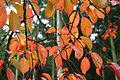 Prunus xY JPG1Fe.jpg