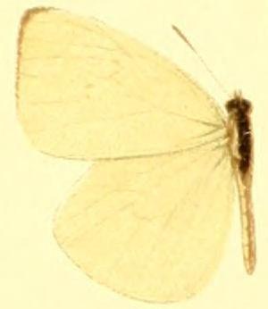 Pseudopieris nehemia - Pseudopieris nehemia nehemia
