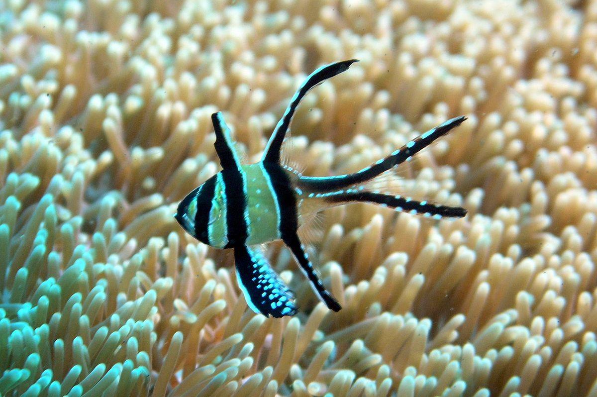 banggai cardinalfish - photo #12