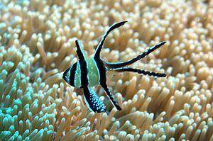 Banggai cardinalfish - Image: Pterapogon kauderni 1