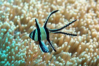 Banggai cardinalfish species of fish