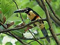 Pteroglossus torquatus (Montezuma, Costa Rica).jpg