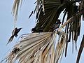 Ptilostomus afer on Borassus aethiopum.jpg