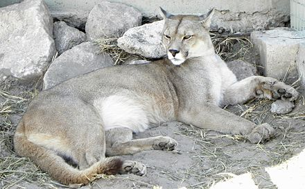 Captive cougar in a zoological park Puma concolor puma 4.JPG