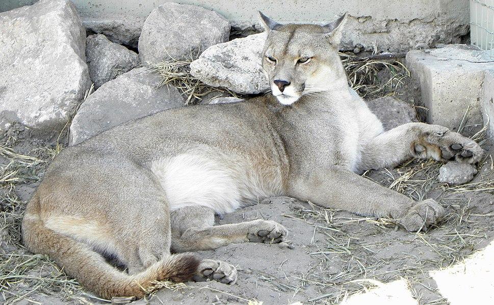 Puma concolor puma 4