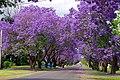 Purple- Flowers, Pakistan.jpg