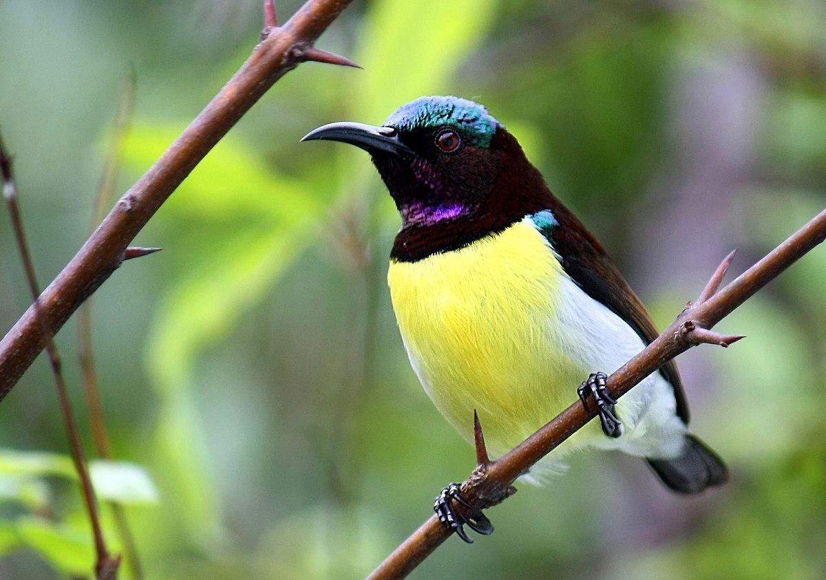 Purple Rumped Sunbird Wikipedia