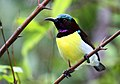 Purple-rumped Sunbird - male.jpg
