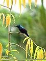 Purple Sunbird (Cinnyris asiaticus) (15891938271).jpg