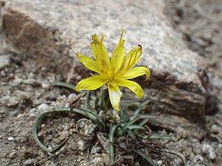 <i>Pyrrocoma apargioides</i> species of plant